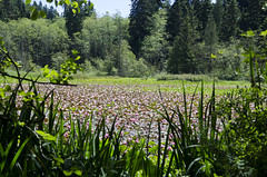 Lake Full Of Water Lilies (Clara Johnson) Tags: vancouver waterlily bc stanleypark beaverlake