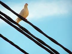 linies I (Sr_saul) Tags: blue sky bird lines azul dove paloma cable line ave cielo electricity pajaro colom turquesa pidegeon linees