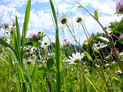 Magerwiese mit Magerwiesen-Margerite (Leucanthemum vulgare) (HITSCHKO) Tags: asteraceae margeriten leucanthemumvulgare korbbltler wiesenmargerite wiesenwucherblume magerwiesenmargerite