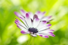 You're All I See (Anna Kwa) Tags: flowers macro art nature marina singapore bokeh africandaisy asteraceae osteospermum capedaisy blueeyeddaisy flowerdome gardensbythebay annakwa