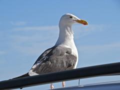 Bird Watcher (Bennilover, off till Feb. 13) Tags: ocean sea birds fishing seagull gulls morrobay seaotter stealing waterbirds