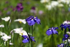 Iris (Kenichi Ogu) Tags: iris summer nature japan tokyo nikon sigma d800 70200mm meijishrine kenichiogu