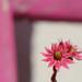 little pink beauty