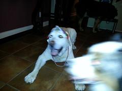 Maxxie (missjessicab) Tags: birthday dogs maxxie