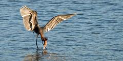 Moment of Truth (craig goettsch) Tags: bird nature nikon wildlife avian d610 reddishegret dingdarlingnwr usnwr