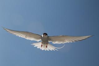 Tern attack no. 1