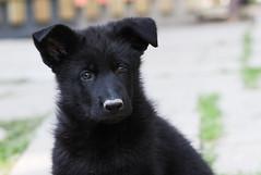 Black Puppy (blumenbiene) Tags: dog black dogs puppy puppies shepherd linie line hund german ddr hunde deutscher welpe schäferhund welpen schwarzer