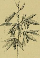 Anglų lietuvių žodynas. Žodis genus sanguinaria reiškia genties sangvinatijų lietuviškai.