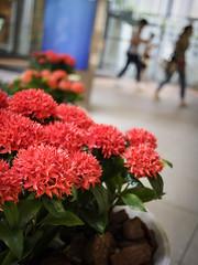 red flowers (hyossie) Tags: red flower japan dof bokeh osaka umeda omd nishiumeda em5 okympus 20mmf17