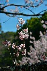 (Eli K Hayasaka) Tags: brazil flores brasil saopaulo sopaulo sampa sakura hanami cerejeira itaquera hayasaka elikhayasaka 36festadacerejeira