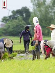 Patanim 07 (Rice Planting) (ilusyonimages) Tags: street asian photography asia farm philippines farming images illusion filipino farmer ricefields ilusyon