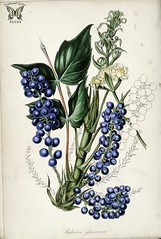 Mahonia glumacea syn. Berberis nervosa. Striking blue, grape colored berries with fine powdery bloom, held closely in long spikes. Dwarf shrubs, with yellow spring flowers. Magazine of botany and register…Paxton, J. vol. 7 (1840) (Swallowtail Garden Seeds) Tags: flowers plants public illustration vintage garden botanical berries gardening dwarf 19thcentury illustrations shrub botany santarosa horticulture 1840 blueberries domain paxton publicdomain mahonia berberis floweringshrub vintageillustration vintageflowers botanicalillustration vintagegarden gardenillustration berberisnervosa flowerillustration 19thcenturyillustration summerfloweringshrub vintagebotanicalillustration publicdomainillustration swallowtailgardenseeds electricblueberries vintageplantillustration vintageplants 19thcenturybotanicalillustration 19thcenturyflowerillustration publicdomainflowers publicdomainflowerillustration floweringshrubillustration magazineofbotanyandregisteroffloweringplants publicdomainvintageflowers botanicalflowerillustration vintageflowerillustrations botanyillustration shrubillustration vintageshrubillustration mahoniaglumacea