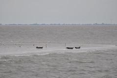Seehunde (juergen.treiber) Tags: sandbank cuxhaven seehunde sommer2014