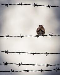 Eurasian Tree Sparrow - Passer montanus (pakerholm) Tags: birds freedom sweden barbedwire sverige fåglar behindbars eurasiantreesparrow taggtråd frihet pilfink fångenskap