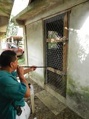 Using a Blow Dart to Immobilize a Jaguar (Christine_Ray) Tags: zoo belize wildlife jaguar blowdart immobilization belizeweek22