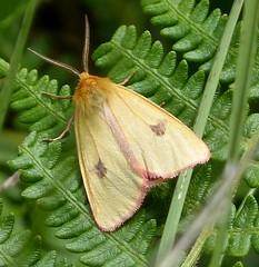 Clouded Buff. Diacrisia sannio. Arctiidae. Male (gailhampshire) Tags: male buff arctiidae clouded sannio diacrisia taxonomy:binomial=diacrisiasannio