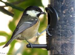 Coal Tit (Kapturedbythelenz) Tags: nature birds flickr tit wildlife gardenbirds catchlight coaltit irishwildlife nationalgeographicwildlife