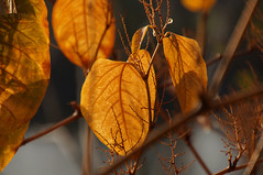 Herbst - Autumn (PLADIR) Tags: autumn sun leaves sony herbst autumnleaves sonne bltter sonya57