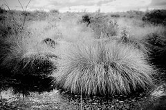 Just One Tuft Please (JJFET) Tags: wet grass blanket heath bog tuft raised