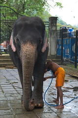 Washing an elephant