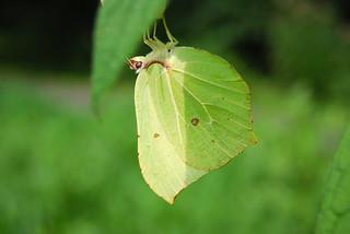 Zitronenfalter - Common Brimstone - Gonepteryx rhamni