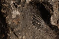 Fossil (J-Fish) Tags: macro rock fossil shell seashell 105mmf28dmicro d300s