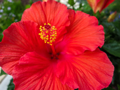 Hibiscus (KCDFoto) Tags: red hibiscus