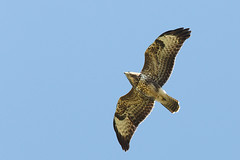 IMGL2470 Musvge - Buteo buteo (Thanks for visit Soes' photo from the lovely natur) Tags: fly flying flight views 100views birdsinflight 300views 100 sverige 500views canoneos raptors intheair falsterbo rovfugle flyvende iluften solveigsterschrder musvgebuteobuteo flyvendefugle