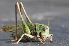 Close to Timmy Cricket (Bjrn Lundby) Tags: macro nature animal bug wildlife bugs cricket grasshopper yunnan insecto imageswildlife