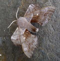 Poplar Hawkmoth. Laothoe populi (gailhampshire) Tags: poplar hawkmoth laothoe populi sphingidae taxonomy:binomial=laothoepopuli explored