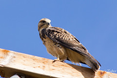 Juvenile Swainson's Hawk looks around.