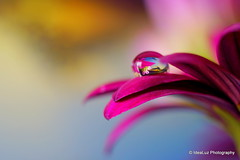 Sunset and Flowers in a Droplet (IdeaLuz Photography) Tags: pink blue sunset orange cloud brown sun plant game west flower macro reflection green nature yellow de landscape gold golden see soleil key purple florida bokeh sony ngc tubes sigma drop pistil petal transparency droplet through extension 60mm reflexion challenge transparence proxy waterscape couch transluscent the nex proxi challengegamewinner flickrunitedaward nex5t
