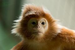 Hair Style (Undertable) Tags: portrait zoo monkey superb stuttgart ape simply affe wilhelma undertable specanimal tierportrait assamstadt oliverbauer coth5 wilhelmazoologischbotanischergarten sunrays5