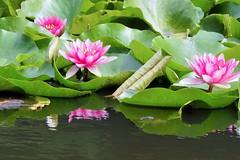 2014.09.03 Les Nymphas (eriko_jpn) Tags: reflection pond waterlily pinkflower nymphaea waterreflection nympheas waterlilypond