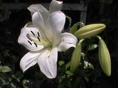 LILY (Nirmal Deka Boruah) Tags: excellentsflowers mimamorflowers flowerarebeautiful thebestofmimamorsgroups unforgettableflowers visionaryartgallery magicmomentsinyourlife magicmomentsinyourlifelevel2 aunayfloradelmundo