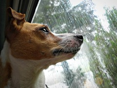 Waiting for the rain to stop (Squatbetty) Tags: window rain holly jackrussell motorhome jackrussellterrier thebee parsonsjackrussell grotbag