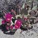 beavertail cactus, Opuntia basilaris basilaris flowering plant