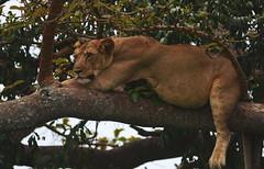 Well stuffed lion in the tree in Ishasha (ChrisvdBerge) Tags: africa tree nature comfortable wildlife fat lion safari sleepy lazy uganda predator lioness queenelizabethnationalpark treeclimbinglion isasha