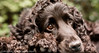 A Little Rest - Bazil (Photo Gal 2009) Tags: dog blackdog rest spaniel resting cocker cockerspaniel lay laying bazil workingdog ecs englishcockerspaniel dogresting blackspaniel doglaying bazilcockerspaniel