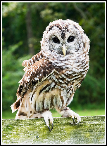 "Barred-Owl • <a style=""font-size:0.8em;"" href=""http://www.flickr.com/photos/21237195@N07/15360269385/"" target=""_blank"">View on Flickr</a>"