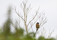 Stonechat (David G Mills) Tags: birds croydon 400mm stonechat southnorwood londonwildlife southnorwoodcountrypark canoneos1100d