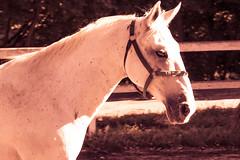 Lipica Stud Farm, Slovenia (elrentaplats) Tags: horses slovenia eslovenia cavalls studfarm ifeelslovenia roadtripbaobab