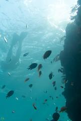 DSC_9192.jpg (d3_plus) Tags: sea sky fish beach japan scenery diving snorkeling  shizuoka   j1  izu  dropoff damsel    skindiving   minamiizu     nikon1 seagoldies hirizo  seagoldie  nakagi nikon1j1 1nikkor185mmf18   beachhirizo misakafishingport