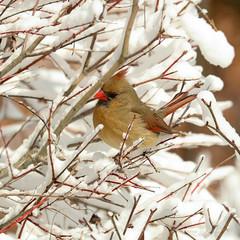 20170210-Blizzard (ChathamGardens) Tags: capecod chathamgardens cardinal blizzard birds snow chathamma