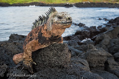 Marine iguana (Amblyrhynchus cristatus) (Ville.V.) Tags: marine iguana amblyrhynchus cristatus galapagos santa cruz ecuador south america wild wildlife herping herpetology