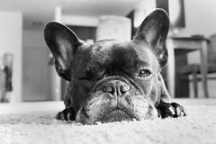Stink Face! (Lainey1) Tags: wink snooze sleep nap scowl stinkface bw monochrome oz ozzy dog frenchie bulldog lainey1 elainedudzinski frogdog zendog frenchbulldog ozzythefrenchie