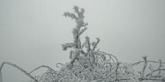 frozen nature 6884 (s.alt) Tags: nature natureunveiled frost winter ice rauhreif cold kalt morgen eiskristall kristallförmig vereist niederschlag hoarfrost whitefrost rime frostyrime frozen detail icecrystal frozennature macro blatt frosted