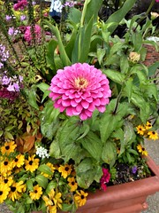 Chicago, Navy Pier, Planter Flowers, Pink Zinnia (?) (Mary Warren (8.4+ Million Views)) Tags: chicago navypier nature flora plants pink blooms blossoms flowers zinnia