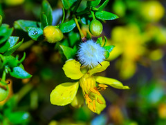 Creosote bloom (Carl Cohen_Pics) Tags: creosotebloom creosote bloom flower nature blossom yellow arizona apachejunction macrophotography mountain macro sillymountain pinalcounty winter canon sigma tontonationalforest creosotelarreatridentata