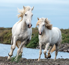 2016 Best Two Camargue Stallions (10) (maskirovka77) Tags: saintlaurentdaigouze languedocroussillonmidipyrén france languedocroussillonmidipyrénées fr stallion stallions createaway